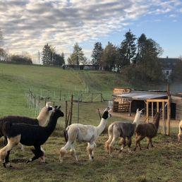Die kleine Lama Herde der eifelnomaden läuft auf einen Stall zu.