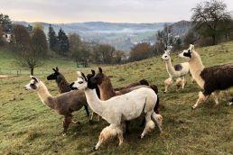 Lamas auf einer Weide in der Eifel schauen in eine Richtung.