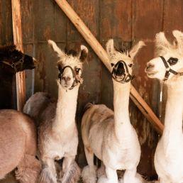 Vier Lamas stehen in einem Stall und schauen den Betrachter an.