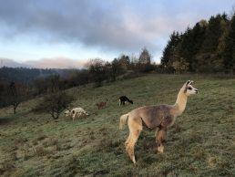 Auf einer hügeligen Weide in der Eifel erholen sich 5 Lamas vom Lama-Trekking.