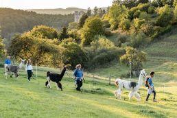 Über eine abschüssige Weide wandert eine kleine Gruppe, die Lamas mit sich führt. Die Lamas sind ganz zahm und werden an Leinen geführt.