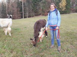 Eine Weide in der Eifel. Eine Frau steht neben einem Lama und bereitet sich auf ein Lama-Trekking in der Eifel vor.