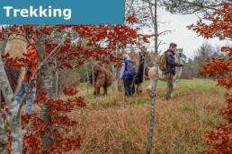 Ein Waldstück in der Eifel. Im Vordergrund Bäume und Dickicht. In dieser Landschaft sind Lamas zum Trekking unterwegs.