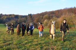 Eine grüne Wiese in der Eifel im Hintergrund ein Waldrand. Auf der Wiese wandert eine Gruppen mit Lamas.