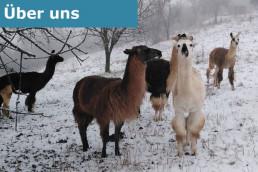 Eine Herde von Lamas steht auf einer verschneiten Weide.
