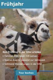 Zwei Lamas vorbereitet für eine Lama Wanderung.