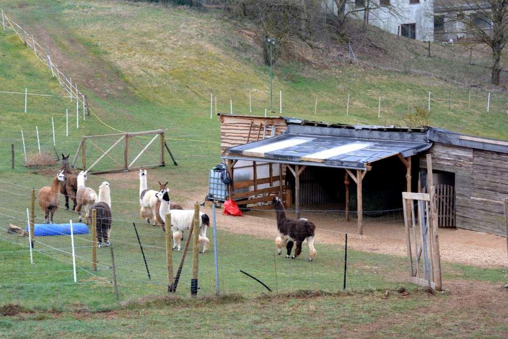 Eifel Lamas