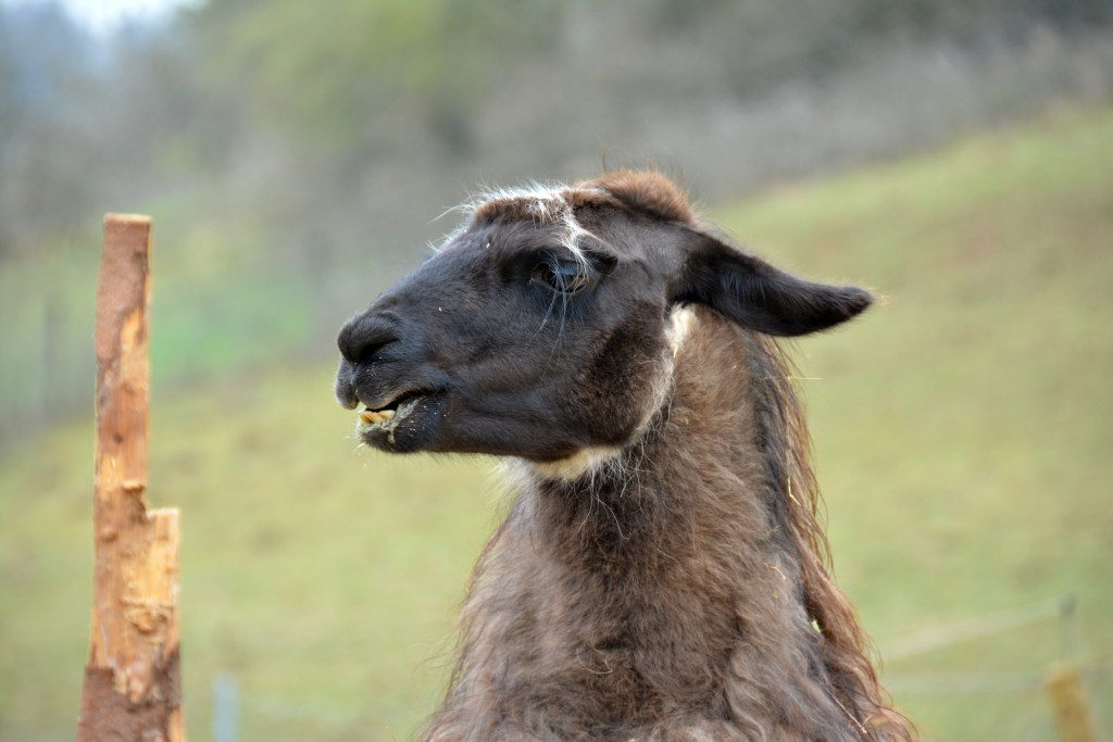 Eifel Lama